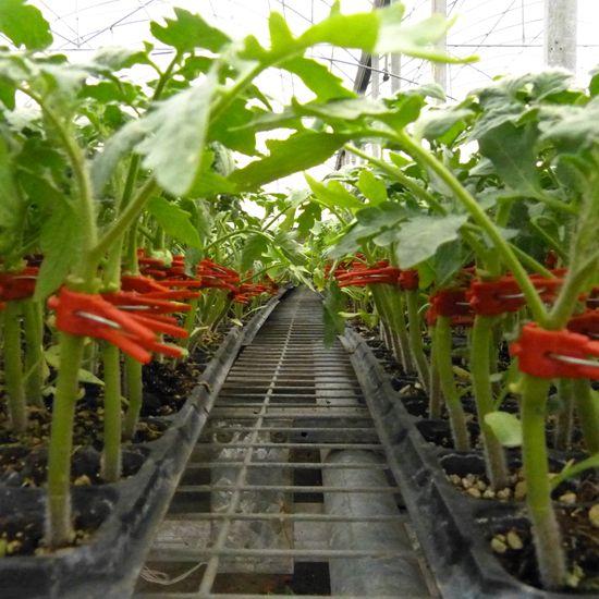 番茄苗矢量图