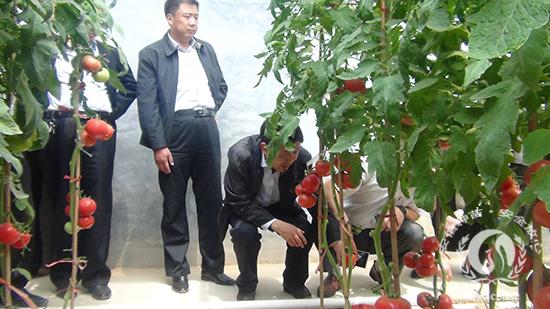 沂南县领导一行实地走进安信种植棚考察西红柿长势