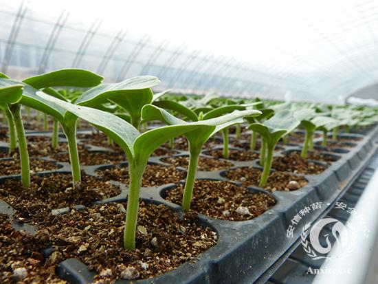 西瓜嫁接苗:葫芦砧木的管理(二)