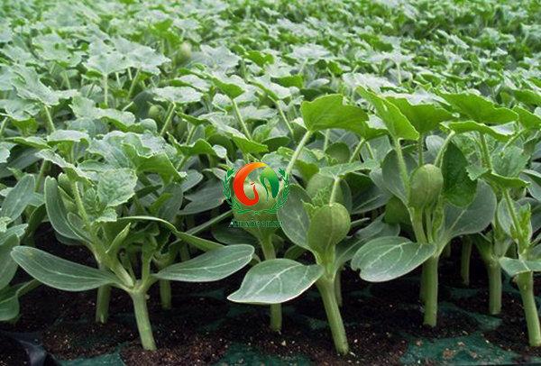 西瓜根茎叶结构图片