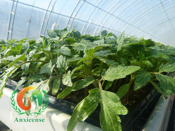 最近,连续的阴雨、雾霾天气严重地威胁着日光温室种苗的生长以及种植棚内各种蔬菜的生长发育,导致蔬菜大量减产和品质降低,给菜农们造成重大损失。如何在阴雨天气保证种苗的茁壮成长呢?山东安信种苗股份有限公司与您分享阴雨天气温室蔬菜种苗的防护管理措施,在实现蔬菜温室种植的高产之路上助您一臂之力!  番茄苗 首先,秋冬季节定植的温室大棚要选对蔬菜种苗,健康茁壮、耐低温、抗病性好的种苗在管理上是事半功倍的,好的种苗是成功的一半,例如:安信种苗的番茄苗——圣罗兰3689是今年适应性广、产量高的优选