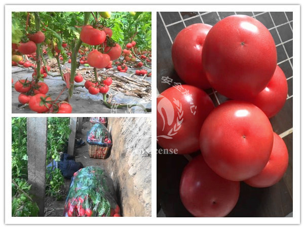 山东济阳:精品粉果西红柿圣罗兰3689丰收了!