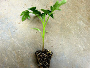 [陕西]泾阳种植户参观考察安信西红柿种苗基地