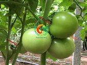 [青州]西红柿喜获丰收,选对西红柿苗很关键-安信种苗