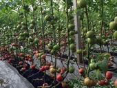 【泰安】都是西红柿苗,咋就差别这么大呢?