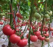 好西红柿就是这么任性,价高,产量高,还不用自己去市场卖!