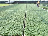 买番茄苗,首选安信—安丘大棚种植户莅临安信种苗参观学习