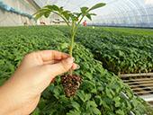 西红柿芽枯病的防治