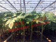 如何从番茄苗长势判断根系状态