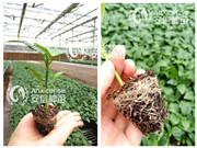 防治辣椒苗生长点异常,提高辣椒产量