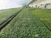 谷雨后,番茄苗露地种植这些管理不能忘