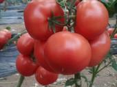 寒冬季节如何预防番茄冻害