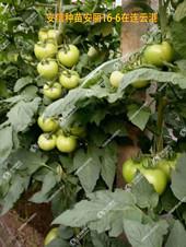 秋延番茄苗助力丰收,信任成就收获