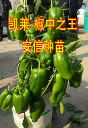 山东聊城莘县椒王大赛,安信种苗甜椒凯莱夺冠