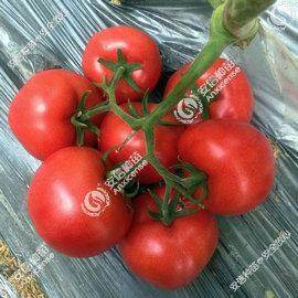 安纳西-粉果番茄